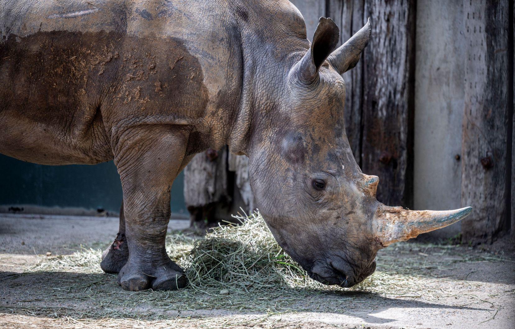 Doce embriones creados para salvar al rinoceronte blanco del norte